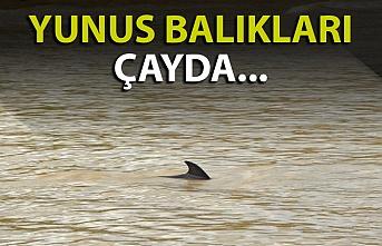 Zonguldak'ta bir ilk daha! Yunuslar çayda