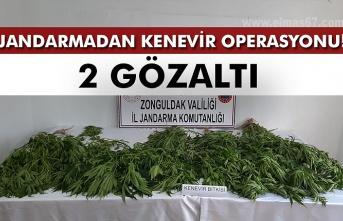Jandarmadan kenevir operasyonu: 2 gözaltı