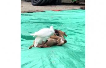 Kaz ile köpeğin örnek arkadaşlığı