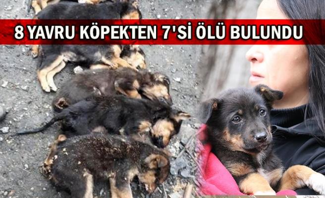 8 yavru köpekten 7'si ölü bulundu