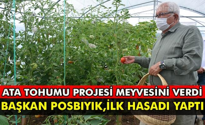 Ata tohumu projesi meyvesini verdi  Başkan posbıyık, ilk hasadı yaptı