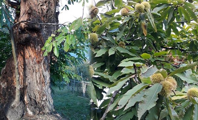 Asırlık ağaç koruma altına alınmayı bekliyor