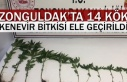 Zonguldak'ta 14 kök kenevir bitkisi ele geçirildi