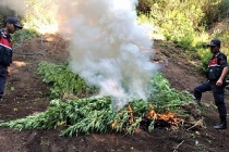 550 kök Hint keneviri ele geçirilerek yakıldı: bir kişi gözaltında