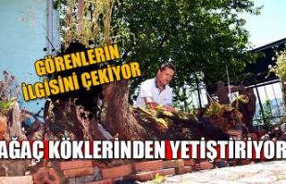 Ağaç köklerinden yetiştiriyor... Görenlerin ilgisini...