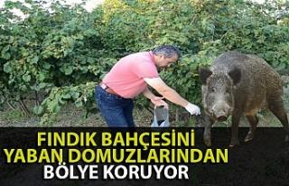 Zonguldak'ta bir köylü tarlasını domuzlardan...
