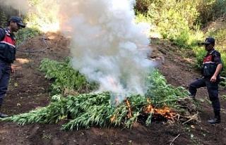 550 kök Hint keneviri ele geçirilerek yakıldı:...
