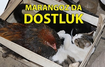 Marangoz atölyesindeki horoz ve kedilerin dostluğu